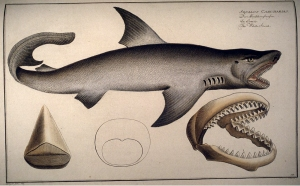 Carcharodon_carcharias_Kruger